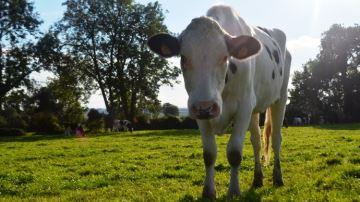 Les vaches au service d'une étude humaine