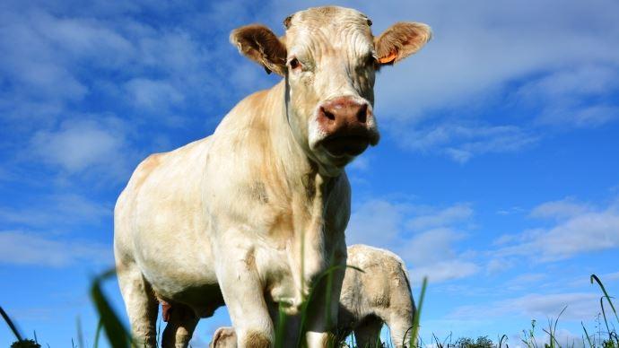 L'institut de l'élevage organise des formations sur la génétique des bovins allaitants