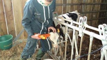 Ukal propose un kit de quatre outils pour bien écorner les jeunes veaux