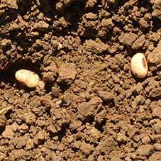 Semis de soja