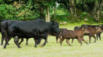 La viande bovine, monnaie d'échange pour mieux exporter du lait