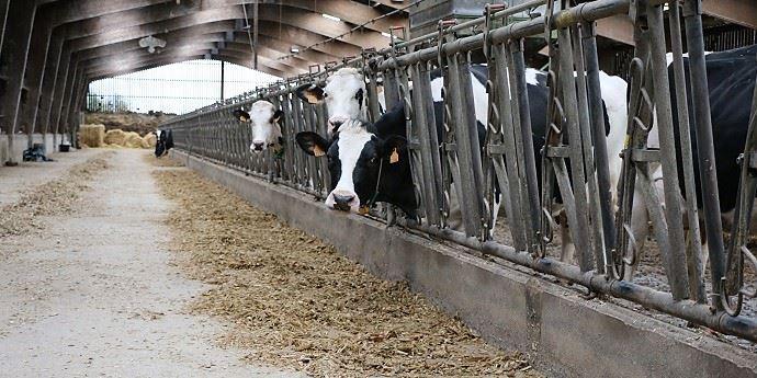 En ration mélangée distribuée deux fois par jour, les vaches ne trient pas le miscanthus et l'ont vite bien ingéré après un petit temps d'adaptation les premières semaines.