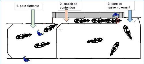 Le couloir de contention doit être précédé d'un parc d'attente et suivi par un parc de rassemblement.