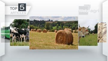 Foin et mash fibreux:  l'alimentation des vaches et des veaux sur le podium