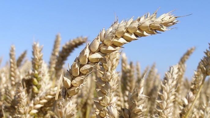 Épis de blé