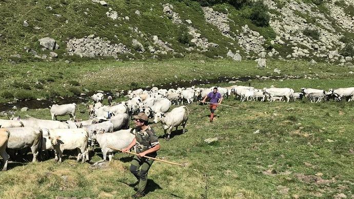 La transhumance est une étape importante pour les éleveurs comme pour le troupeau en zone de montagne
