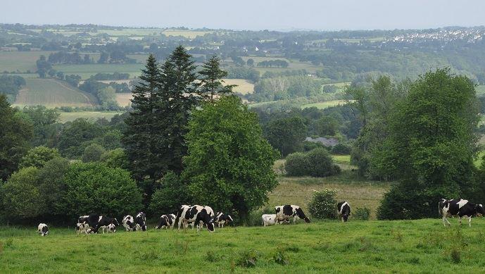 Vaches laitières au pré