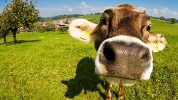 «Des vaches heureuses font des éleveurs heureux et réciproquement»