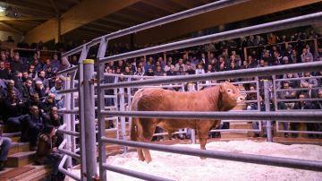Carrefour des ventes aux enchères de bovins viande