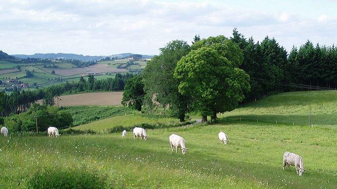 vaches allaitantes dans prairies