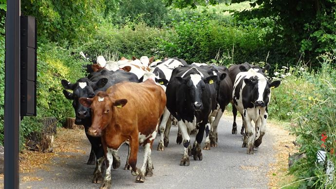 Une formation sera nécessaire pour que l'éleveur puisse apprendre à son troupeau à respecter la couleur du feu tricolore avant de traverser la route.