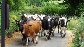 Fin des boviducs, les vaches devront apprendre à passer au feu vert