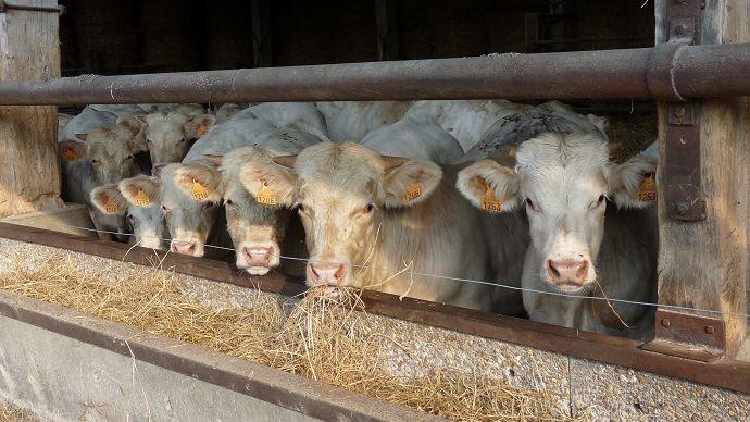 Le cours du jeune bovin se maintient en France depuis le début de l'année 2019.