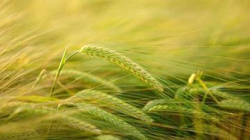 Les résultats provisoires des variétés en orge d'hiver, blé tendre et blé dur