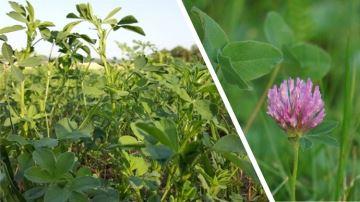 Trèfle violet ou luzerne: quellelégumineuse pour plus d'autonomie?