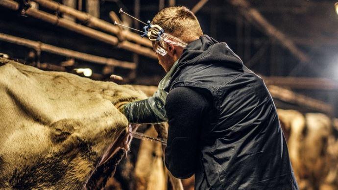 Insémination artificielle en élevage bovin