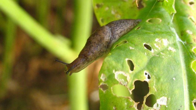 Limace sur feuille de colza