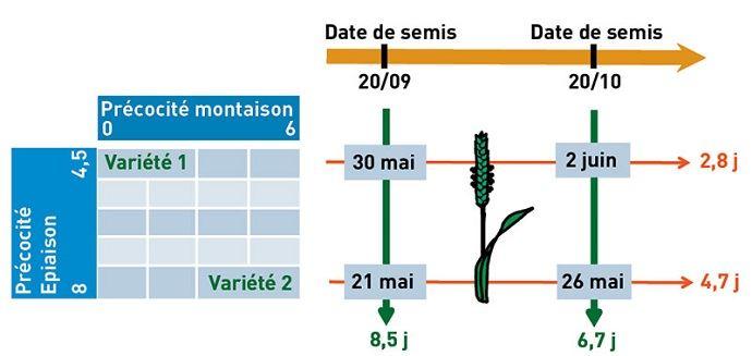Couple de précocité et de date de semis adapté à la Lorraine