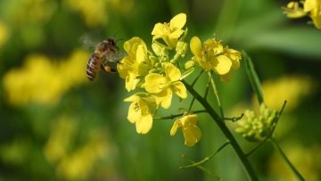 Les abeilles plus rentables que les phytos en colza? Terres Inovia nous éclaire