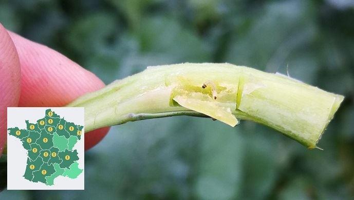 Grosses altises du colza, présence de larves confirmée