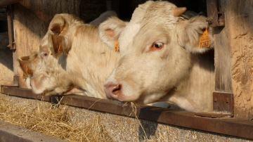 Enrubannage ou régime sec: le coût de l'engraissement n'est pas lemême