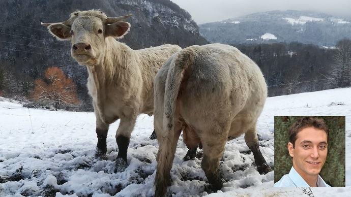 vaches allaitantes dans la neige ferme de bellevue isere