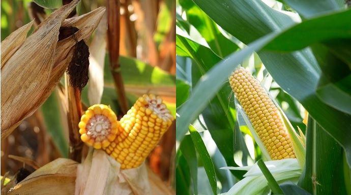 Maïs grain et maïs fourrage