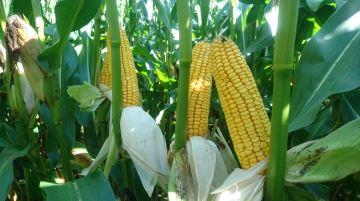 LBS Seeds poursuit le développement de ses maïs 100% dentés farineux