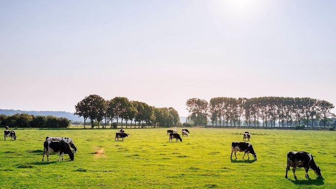 Vaches dans un pré