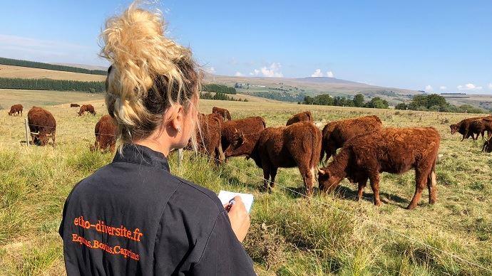 Observation du comportement des vaches laitières (ici de race Brune) au pâturage