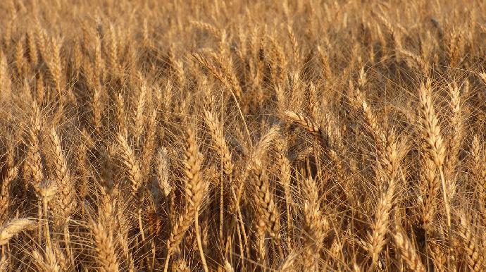 Champ de blé dur
