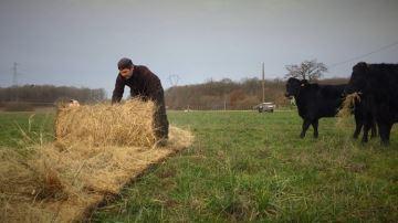 Du bale grazing pour complémenter les vaches mais aussi régénérer les sols