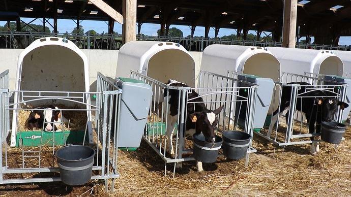 Veaux laitiers en niches individuelles