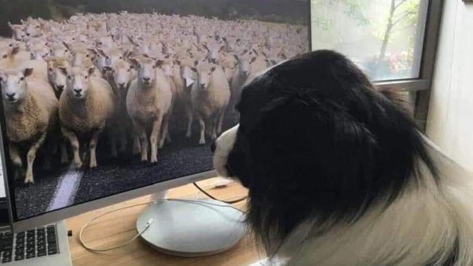 Chien qui surveille un troupeau à distance