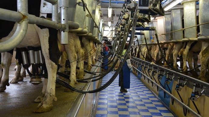 Vaches à la traite