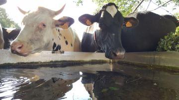 Quelques chiffres clés sur la consommation d'eau en élevage bovin