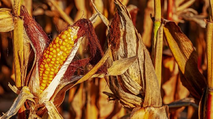 Doublement des droits de douane sur le maïs importé en Europe