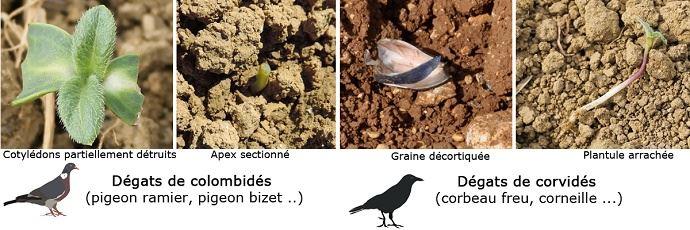Types de dégâts causés par les oiseaux sur tournesol