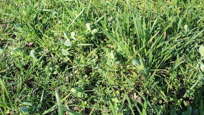 Prairie sous couvert d'un mélange céréales-protéagineux