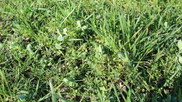 Semer sa prairie sous couvert pour une meilleure implantation