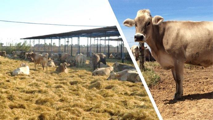 Vaches laitières de race Brune