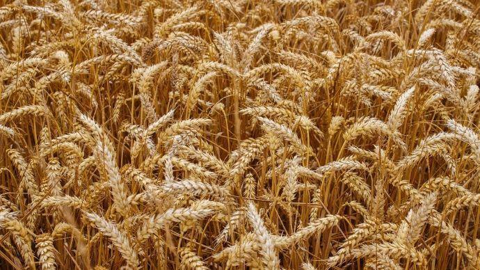La récolte de blé s'amoindrit en Argentine