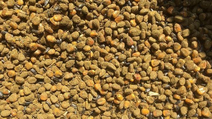 Semences de maïs, associées à du tournesol et du sorgho. Enrobage de semences fait maison
