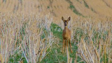 Des couverts pour concilier agronomie et faune sauvage