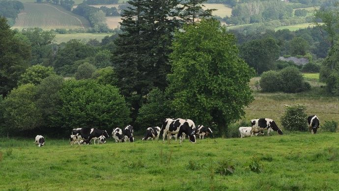 Pâturage vaches laitières