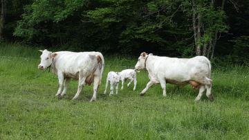 La demande en viande bovine française dynamisée par les confinements