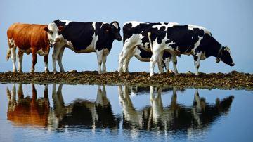 2020: une année «plutôtmauvaise» pour l'élevage