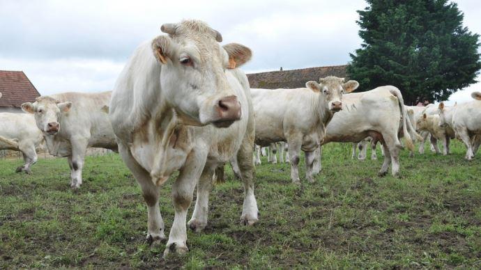 Bovins viande: quelles pratiques pour réduire ses émissions de gaz à effet de serre?