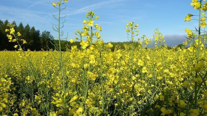 champ de colza en fleurs