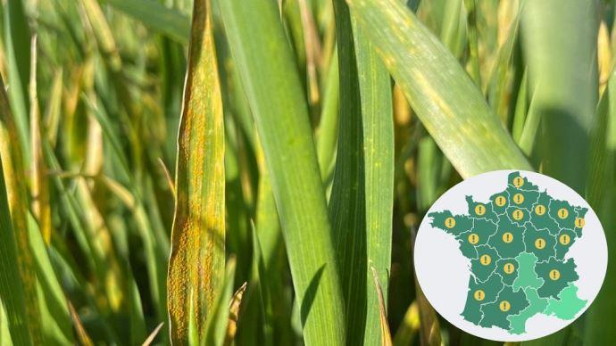 Signalements de rouille jaune sur variétés de blé sensibles